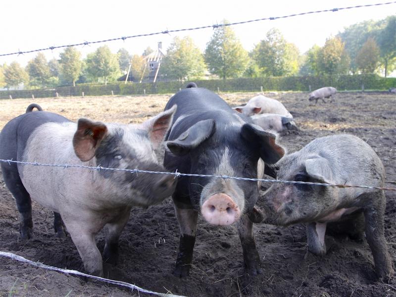 De 'vrije' varkens.