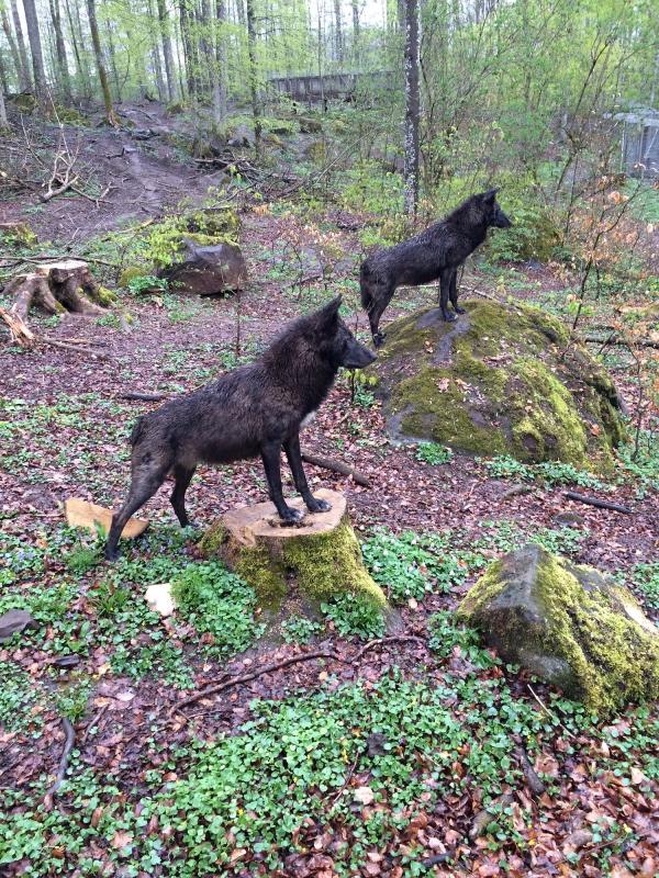 Wolven in Kasselburg