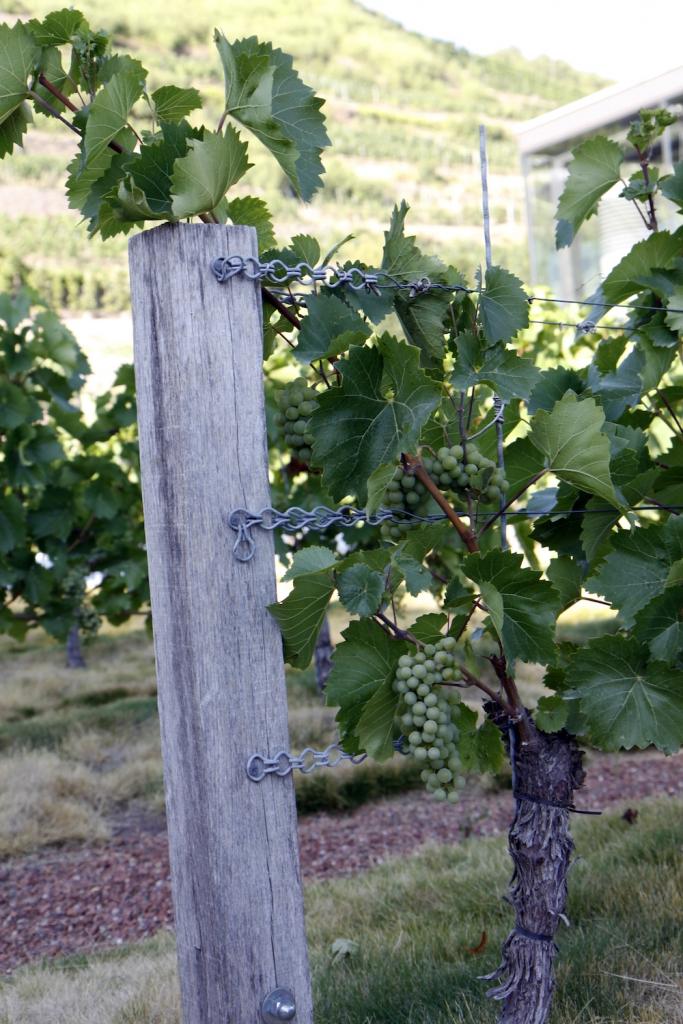 De druiven die straks tot wijn zullen worden.