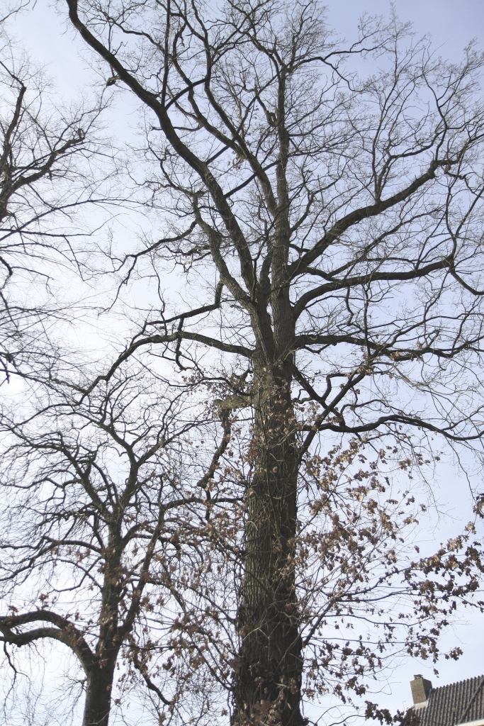Hoge bomen in Hellendoorn.