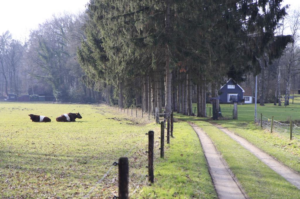 De koeien liggen loom in de wei.