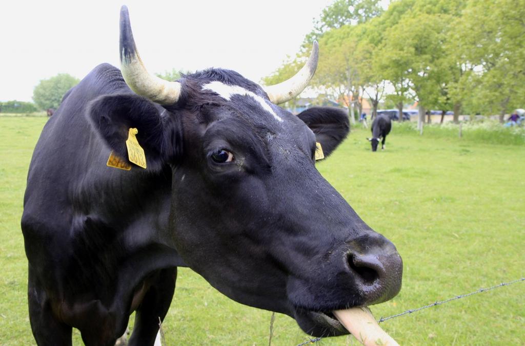 Een nieuwsgierige en hongerige koe