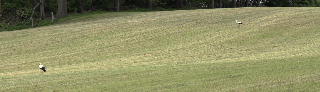 Twee ooievaars in het veld