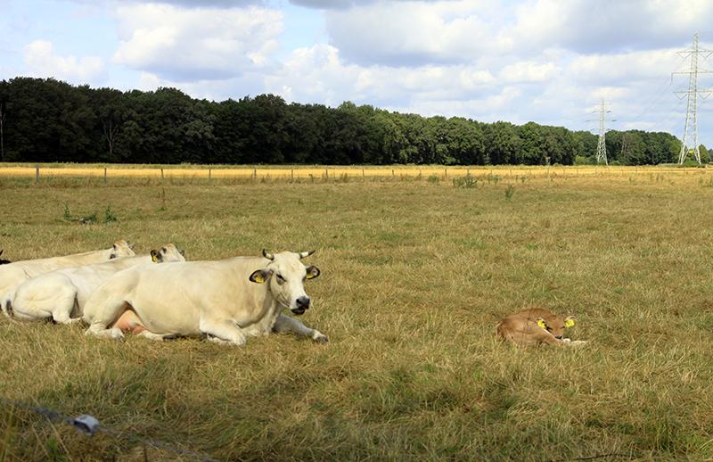 Luierende koeien