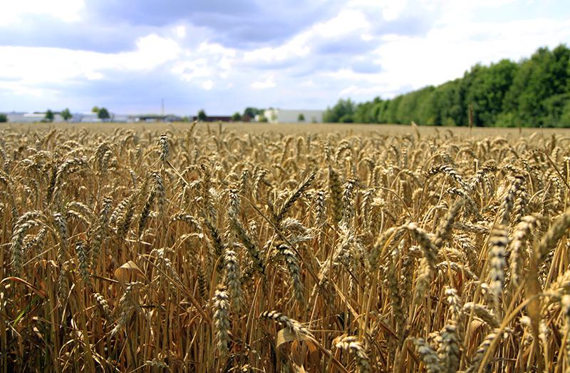 Het graan groeit goed
