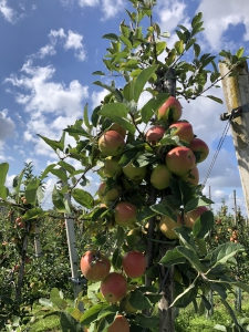 Appels bij de fruitkwekerij
